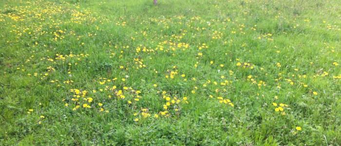 Gelée de fleurs de pissenlit des Forges d'Enfalits, chambres d'hotes en Ariège Pyrénées-01