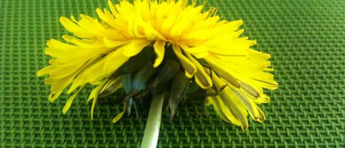 Gelée de fleurs de pissenlit des Forges d'Enfalits, chambres d'hotes en Ariège Pyrénées-02